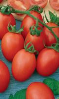 Томат АКВАРЕЛЬ - Сибирская селекция! В рассаде не вытягивается! Урожай до 10 кг/м.кв.!