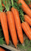 Морковь АМСТЕРДАМСКАЯ - лидер на хранение!