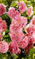 Шток-роза (Мальва) РОЗОВЫЕ КРУЖЕВА