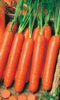 Морковь НАНТСКАЯ 4 - УРОЖАЙКА