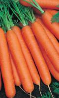 Морковь КАМПО - ровная и длинная, великолепно хранится!