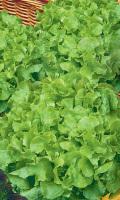 Салат НОВОГОДНИЙ - можно выращивать круглый год!