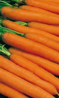 Морковь ТУШОН — Ровная! Сладкая!