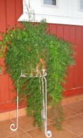 Аспарагус густоцветковый ШПРЕНГЕРА (СПРЕНГЕРИ) комнатный