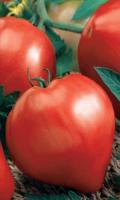 Томат ЛЮБЯЩЕЕ СЕРДЦЕ - куст ломится от плодов!