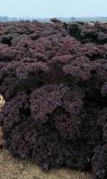 Капуста листовая (кале) МАЛИНОВКА