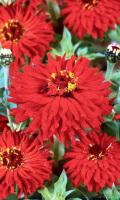 Цинния кактусовидная БОГ ОГНЯ