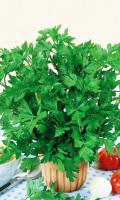 Сельдерей листовой ЗАХАР - идеален для салатов!