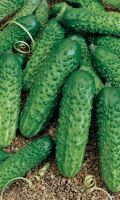 Огурец АРТИСТ F1 - от количества плодов листвы не видно!